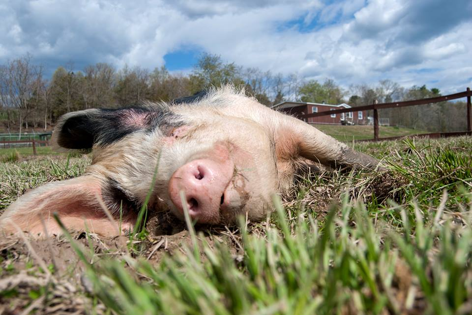Moses the rescued pig at Catskill Animal Sanctuary