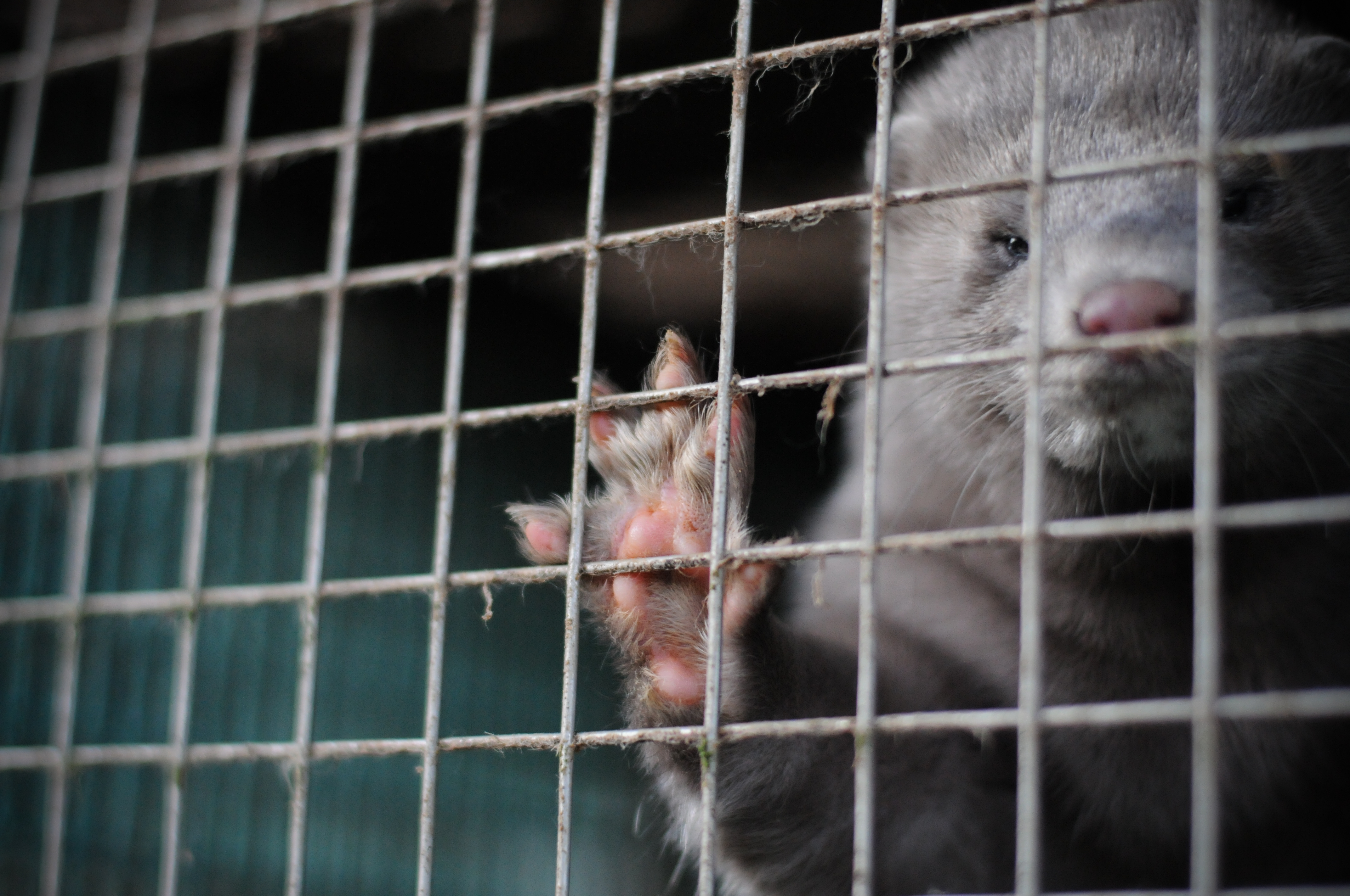 Mink in a cage on a fur farm.