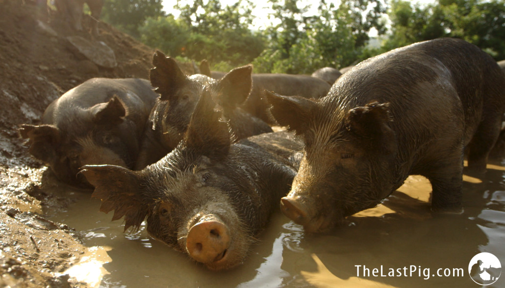 Happy pigs in a mud wallow